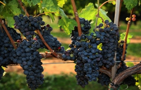 Carbernet Franc Grape